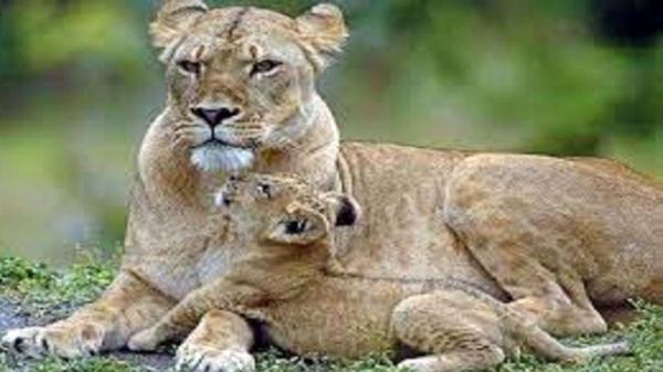 بازی دیدنی یک توله شیر با مادرش